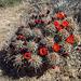 Mojave Mound Cactus (0733)