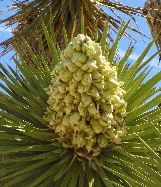 Joshua Tree Bloom (0740A)