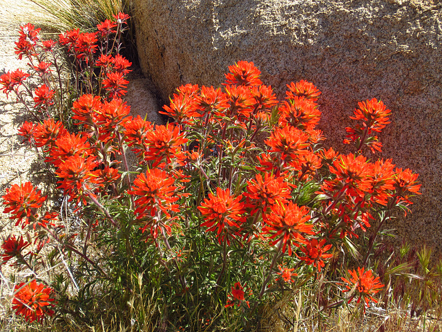 Indian Paintbrush (0742)