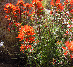 Indian Paintbrush (0745)