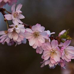 20120413 8559RAw Japanische Zierkirsche