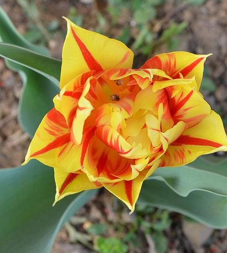 Tulipe DSC 0257