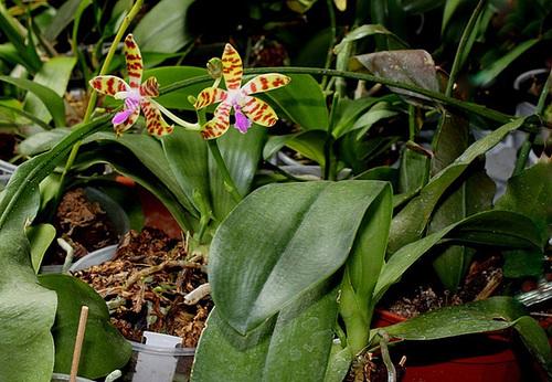 Phalaenopsis bastiani
