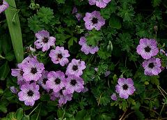 Geranium cinereum (2)