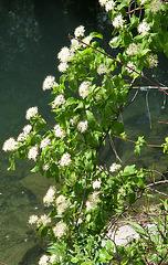 Fleurs blanches : sureau