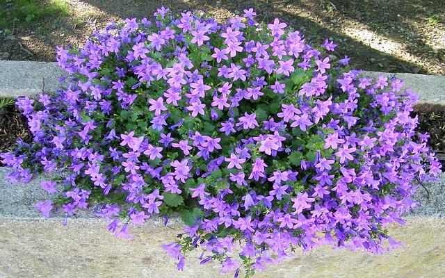 Fleurs bleues : campanules des Carpathes