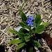 Anchusa azurea 'Little John'