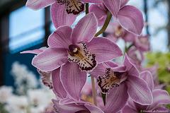 Orchidées au parc floral de Keukenhof