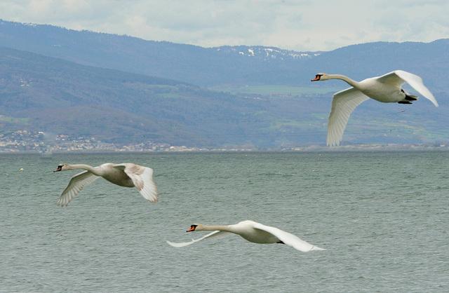 Vol de cygnes...près d'Estavayer-le-Lac...