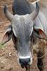 An ox face portrait