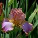 Iris Afternoon Delight