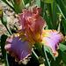 Iris Afternoon Delight (2)