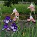 Iris 'Art Deco 'et 'Sugar Magnolia'