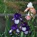 Iris 'Art Deco 'et 'Sugar Magnolia' (2)