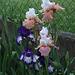 Iris 'Art Deco 'et 'Sugar Magnolia' (3)