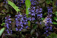 Ajuga reptans purpuracea