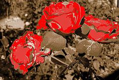 Roses pas communes