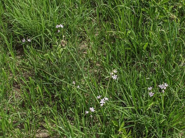 Calopogon oklahomensis (Oklahoma Grass-pink orchid)