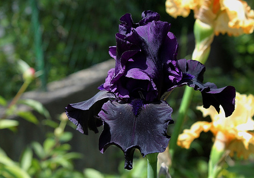Iris Hello Darkness (2)