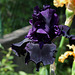 Iris Hello Darkness (2)