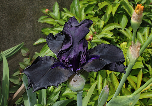 Iris Hello Darkness (3)