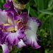 Iris Mariposa Autumn (3)