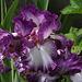 Iris Mariposa Autumn (5)