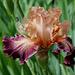 Iris Secret Melody