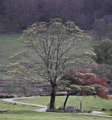 Bedgelert tree