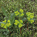 Euphorbia helioscopia - Euphorbe 'réveille -matin' (2)