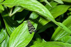 Sur des feuilles de pivoines