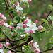 Apfelblüte Ostern 2012 in Südtirol