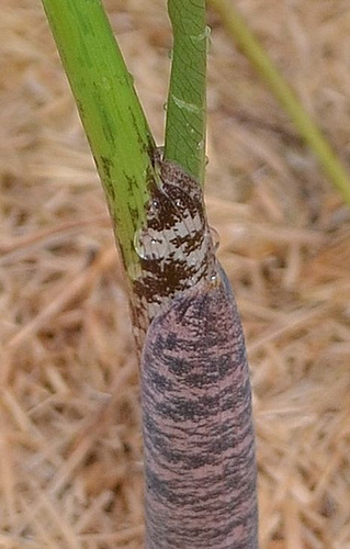 Dracunculus vulgaris DSC 0228-2