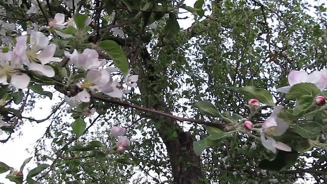 La floranta pomujo