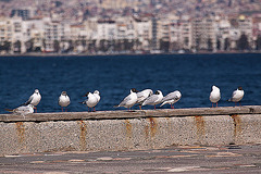 20120316 7800RAw [TR] Izmir, Lachmöwen (Chroicocephalus ridibundus)