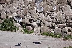 20120316 7799RAw [TR] Izmir, Taubenhochzeit