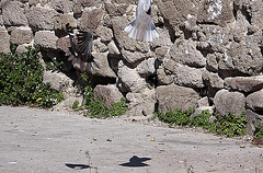 20120316 7798RAw [TR] Izmir, Taubenhochzeit