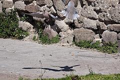 20120316 7797RAw [TR] Izmir, Taubenhochzeit