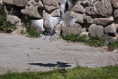 20120316 7796RAw [TR] Izmir, Taubenhochzeit
