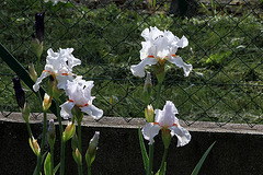 Iris 'Neige de Mai' Cayeux 1978 (8)
