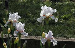 Iris 'Neige de Mai' Cayeux 1978 (9)