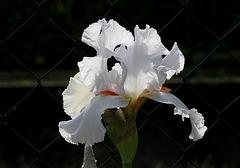 Iris 'Neige de Mai' Cayeux 1978 (10)