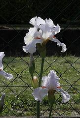 Iris 'Neige de Mai' Cayeux 1978 (11)