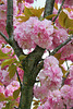 Cerisier du japon ou prunus