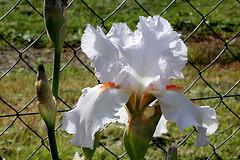 Iris 'Neige de Mai' Cayeux 1978 (12)
