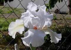 Iris 'Neige de Mai' Cayeux 1978 (13)