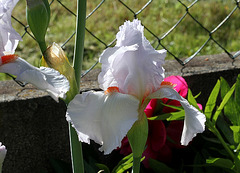 Iris 'Neige de Mai' Cayeux 1978 (14)