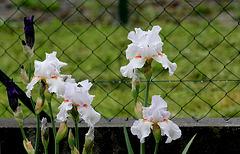 Iris 'Neige de Mai' Cayeux 1978 (15)