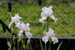 Iris 'Neige de Mai' Cayeux 1978