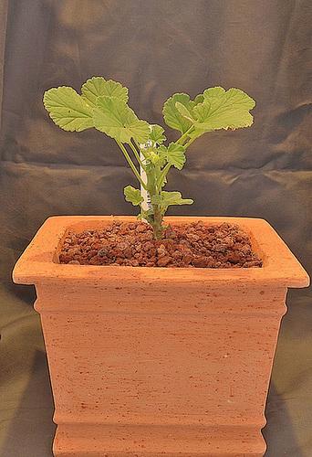 Pelargonium echinatum DSC 0008
